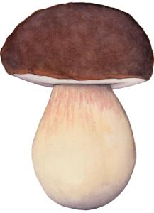 Illustration de Boletus pinophilus pour un jeu de cartes de champignons comestibles