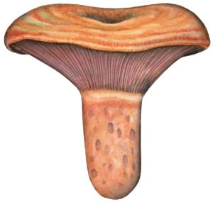 Illustration de Lactarius sanguifluus pour un jeu de cartes de champignons comestibles