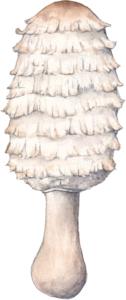 Illustration du Coprinus comatus pour un jeu de cartes de champignons comestibles