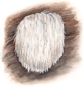 Illustration de l'Hydne Hérisson, Hericium Erinaceus, dans un jeu de cartes pour reconnaître les champignons comestibles