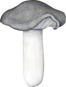 Illustration de Hygrophorus marzuolus pour un jeu de cartes de champignons comestibles